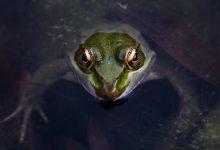 Photo of Wat eten kikkervisjes?